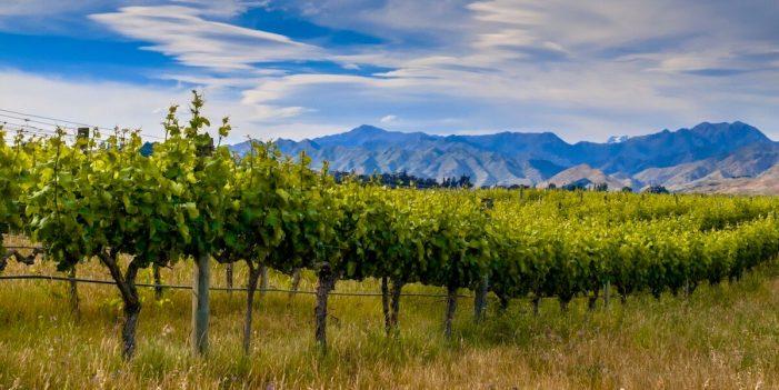 vineyards in malborough